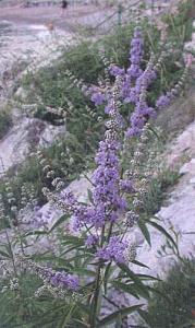Konopljika-familiae-verbenaceae-porodica-sporisi.jpg