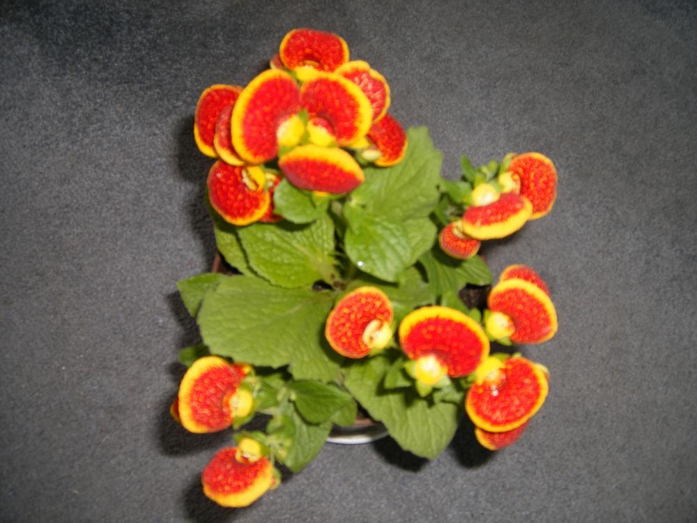 Sobne biljke - Stranica 6 - Alternativa Forum
