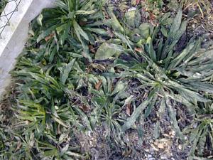 Biljke u vrtu-slika0266.jpg
