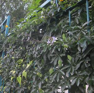 Pasiflora: Passiflora incarnata, Passiflora foetida-pasiflora-caerulea3a.jpg